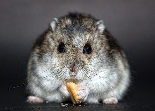Hamster qui mange